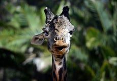 Giraffe with One Ear, San Diego Stock Photography