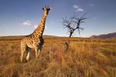 Giraffe in open field with lone tree. A surreal composite image of a giraffe standing beside a burnt tree in a open field royalty free stock images