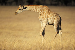 Giraffe in open grassland Royalty Free Stock Photography