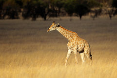 Giraffe in open grassland Stock Images