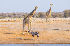 Giraffe and Oryx walking in the bush. Royalty Free Stock Photos