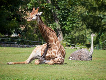 Giraffe and ostrich lying on green grass Royalty Free Stock Photos