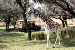 Giraffe. Out on the preserve Stock Photography