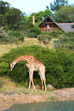 Giraffe outside game lodge in South Africa Royalty Free Stock Photography