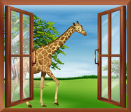A giraffe outside the window Stock Photo