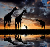 Giraffe over sunrise Royalty Free Stock Images