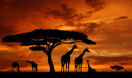 Giraffe over sunrise Stock Photos