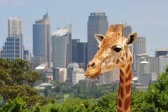 Giraffe over Sydney stock photography