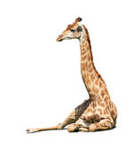 Giraffe  over white Royalty Free Stock Image