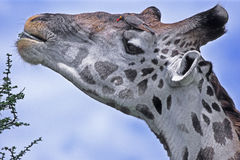 Giraffe and Oxpecker Royalty Free Stock Photography