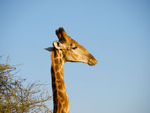 Giraffe with an Oxpecker Royalty Free Stock Images