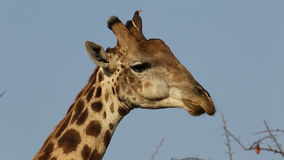 Giraffe with oxpecker birds stock footage