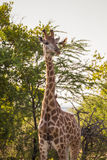 Giraffe and oxpecker Stock Photo