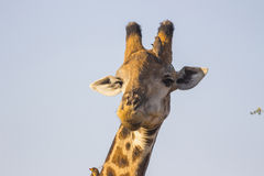 Giraffe with oxpeckers 1 Stock Image