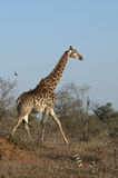 Giraffe with oxpeckers in Africa stock photography