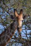 Giraffe with oxpeckers in Kruger Park Royalty Free Stock Image