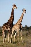 Giraffe Pair Royalty Free Stock Image