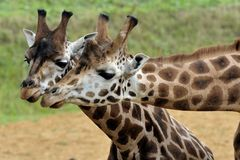 Giraffe Pair. Courting Giraffe pair with heads together Stock Photography