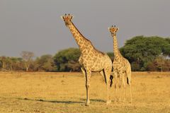Giraffe Pair - African Wildlife Background - Posing with Mom Stock Photos