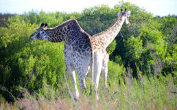 Giraffe pair eating Stock Photo