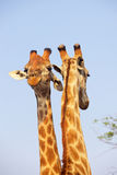 Giraffe Pair Royalty Free Stock Image