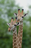 Giraffe Pair in Kruger Park Stock Photo