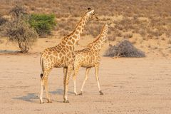Giraffe Pair. A pair of giraffes in the Kgalagadi Transfrontier Park, situated in the Kalahari Desert which straddles South Africa and Botswana Royalty Free Stock Photo