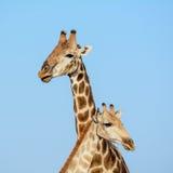 Giraffe Pair Portrait Royalty Free Stock Image