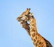 Giraffe Pair Portrait Stock Image
