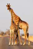 Giraffe. A pair of giraffe pose on a road in a private game reserve Stock Image