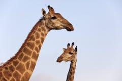 Giraffe pair. Stock Photo