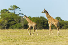 Giraffe pair walking Royalty Free Stock Photography