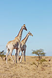 Giraffe pair Stock Photos