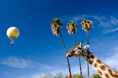 Giraffe, palm grove and yellow balloon in safari park Royalty Free Stock Photos