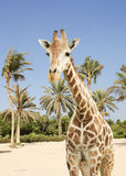 Giraffe and palms Royalty Free Stock Photos
