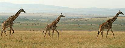 Giraffe panorama Stock Photo