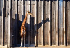 Giraffe in Parc de la Tete-d& x27;Or & x28;zoo& x29;. Lyon, France. Stock Images