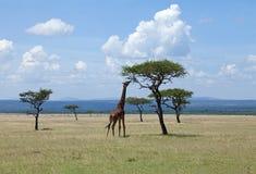 Giraffe parcourant sur l'acacia sur le masai Mara Photographie stock