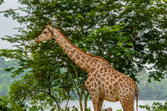 Giraffe. In park - animal background Stock Photography