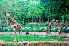 Giraffe in park zoo. Royalty Free Stock Images