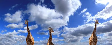 Giraffe party Stock Photo