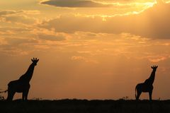 Giraffe Peace - African Wildlife Background - Sunset Beauty and Tranquility Stock Image