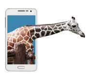 Giraffe Peeking out. A baby giraffe peaking its head out from a smart phone screen. Isolated on white Stock Photo
