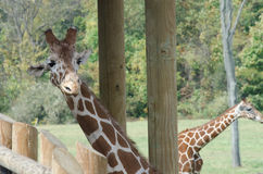 Giraffe Peeks Around Post Royalty Free Stock Images