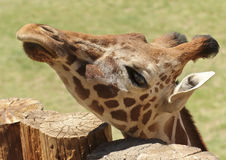 A Giraffe Peers Over the Top of a Log Fence Royalty Free Stock Images