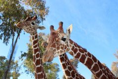 Giraffe photo Royalty Free Stock Images