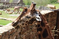 Giraffe. This photo is from Zoo Jihlava in Czech Republic Royalty Free Stock Image