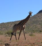 Giraffe. This giraffe photographed against  koppie(small mountain)  in  Pilanesberg Nature Reserve Stock Photos