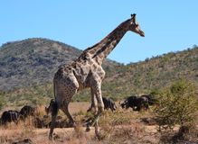 Giraffe. This giraffe photographed against  koppie(small mountain)  in  Pilanesberg Nature Reserve with widebeest  in  backround Stock Photos