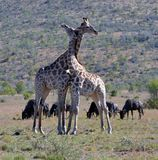 Giraffe. These giraffe photographed against  koppie(small mountain)  in  Pilanesberg Nature Reserve with widebeest  in  backround Royalty Free Stock Image